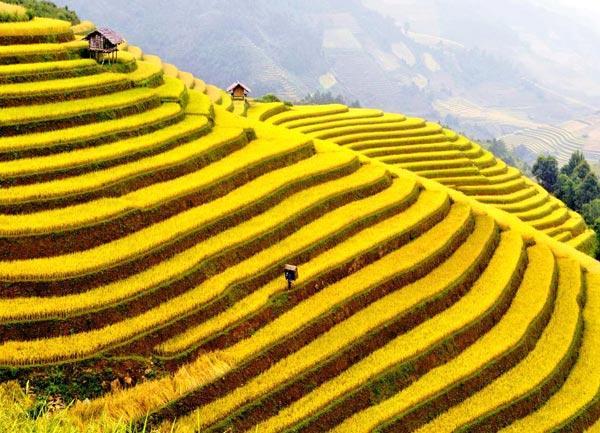 Bậc thang lúa vàng tuyệt đẹp trong nắng vàng