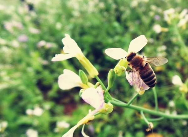 Những chú ong cần mẫn kiếm ăn mùa hoa cải Mộc Châu