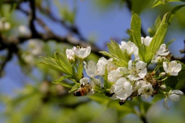 Tháng 11, những bông hoa mận cũng đã chớm nở sớm