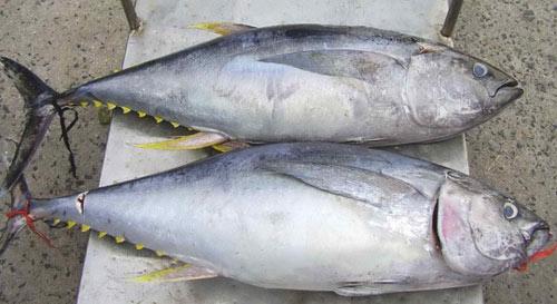 Cá ngừ đại dương (Phú Yên)
