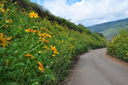 Những con đường ngập màu vàng óng của hoa dã quỳ.