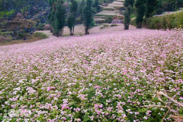 Hoa tam giác mạch phủ kín những sườn đồi ở Hà Giang từ tháng 9 - 11