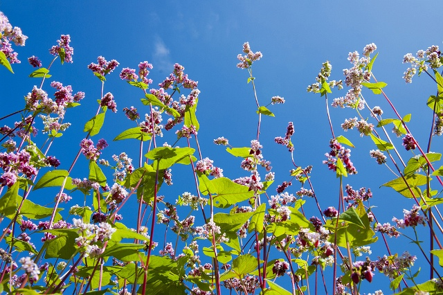 Hoa tam giác mạch đua sắc dưới ánh nắng