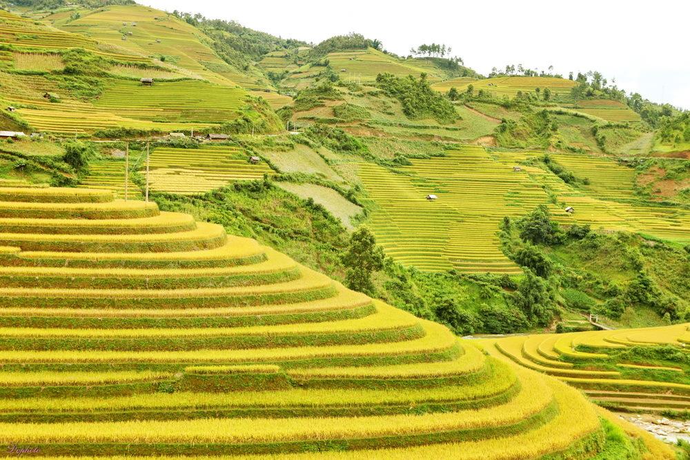 Thời điểm Mù Cang Chải đẹp nhất trong năm là khi lúa bắt đầu chín rộ.