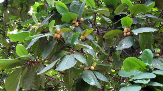 Trái bàng vào mùa chín rộ