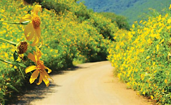 Rủ nhau lên Ba vì ngắm hoa dã quỳ khoe sắc rực vàng