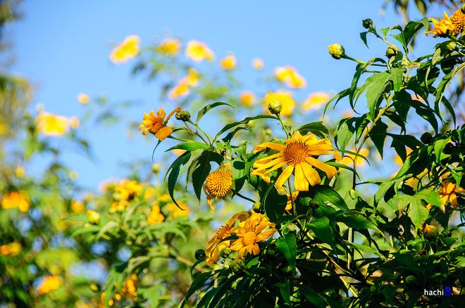 Hoa dã quỳ tỏa sắc vàng rực rỡ trên khắp cao nguyên Mộc Châu