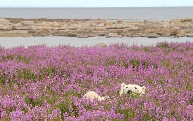 cánh đồng hoa dại ở gần vịnh Hudson của tỉnh Minatoba, Canada.