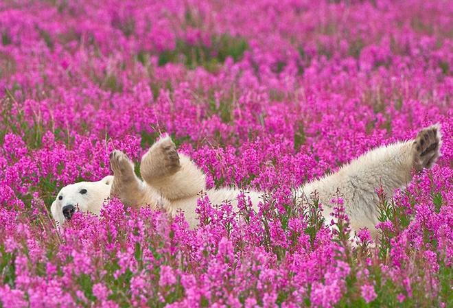 Chú gấu trắng khổng lồ giữa cánh đồng hoa nở rộ.