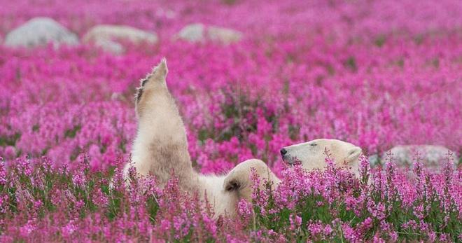Những chú gấu trắng đáng yêu giữa cánh đồng hoa tuyệt đẹp