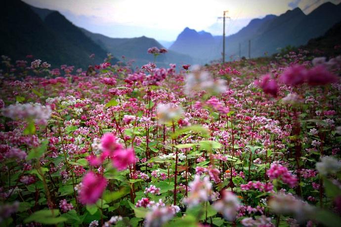 Ngắm hoa Tam giác mạch Hà Giang – Địa điểm du lịch Tết tuyệt đẹp tại Tây Bắc