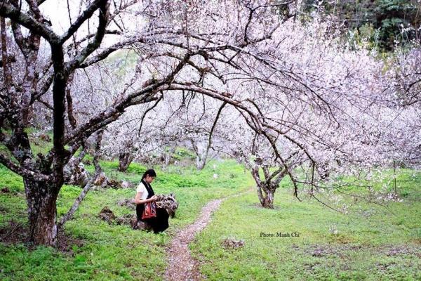 Hoa mận, hoa đào nở rộ mỗi dịp xuân về ở Mộc Châu.