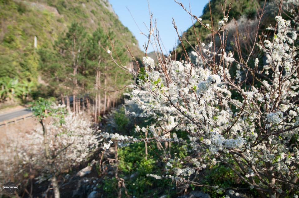 Ngay từ đoạn quốc lộ 6 đã rất nhiều hoa mận nơ
