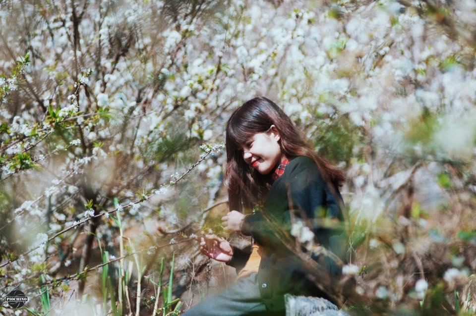 Hoa mận khu vực rừng thông Bản áng
