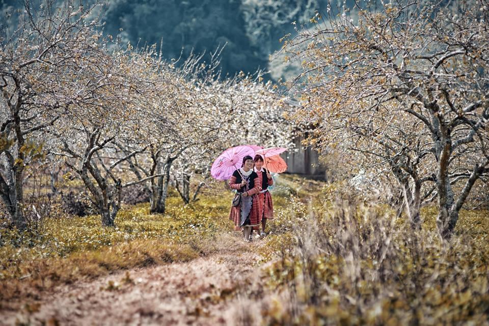 Vườn hoa mận Mộc Châu