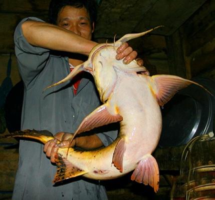 Bốn loài cá tiến Vua nổi tiếng giữa lòng sông Lô