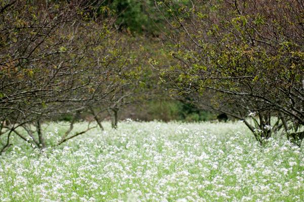 Cải trắng được trồng dưới những gốc mận