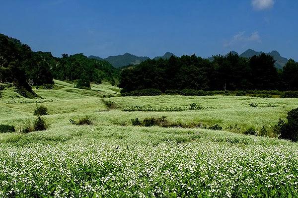 Hoa cải trắng phủ kín ở khu vực Rừng thông bản Áng