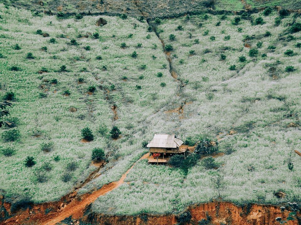 Những đồi cải trắng miên man ở Bản Pa Phách