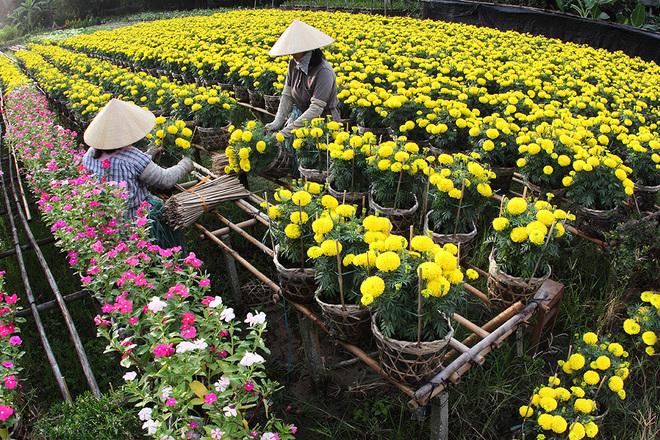 Hoa Tết rực rỡ ở các nhà vườn miền Tây
