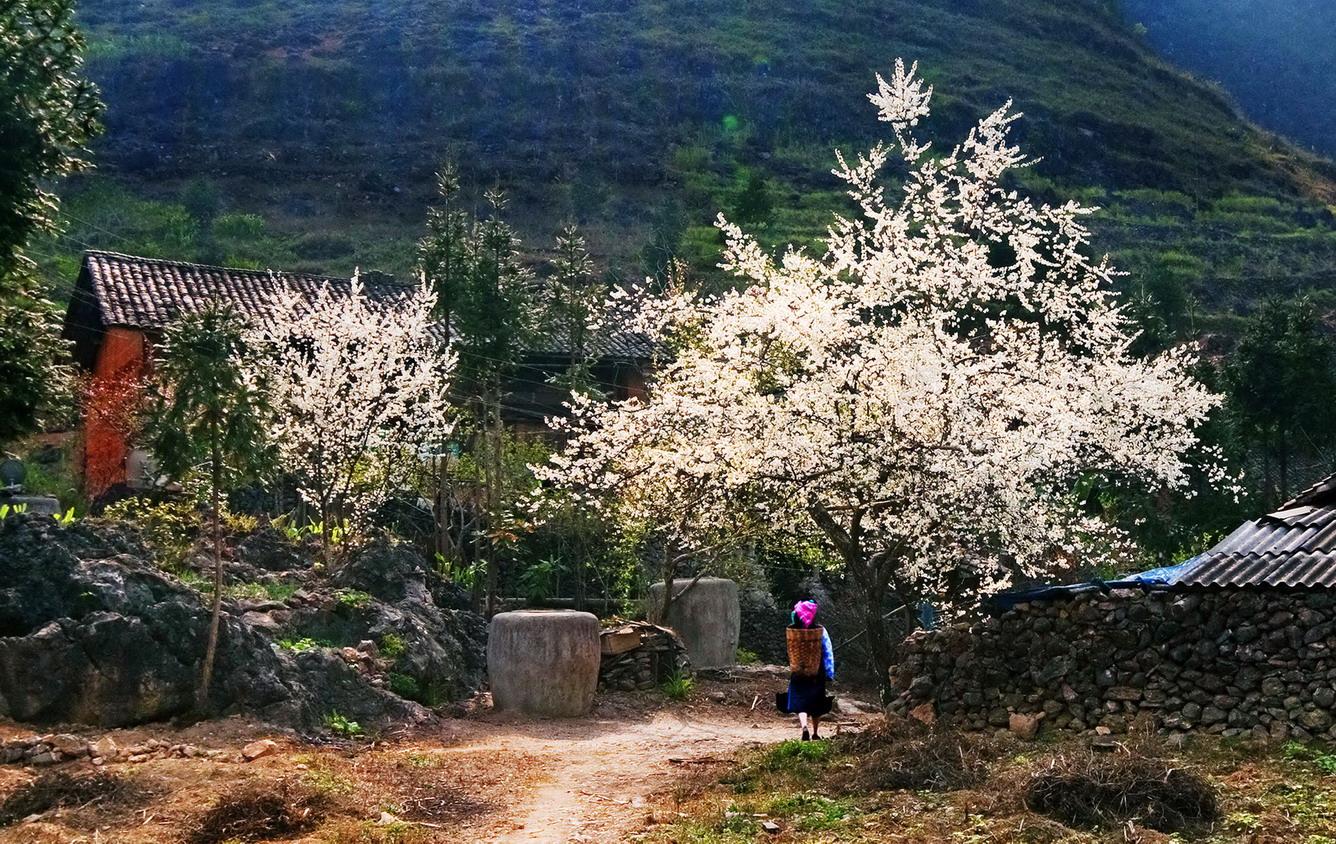 Tết Nay Len Tay Bắc Ngắm Hoa Dulich24