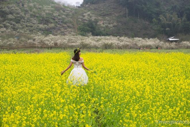 Những vườn hoa cải vàng khoe sắc dưới những tán mận trắng tinh khôi ở Tân Lập.
