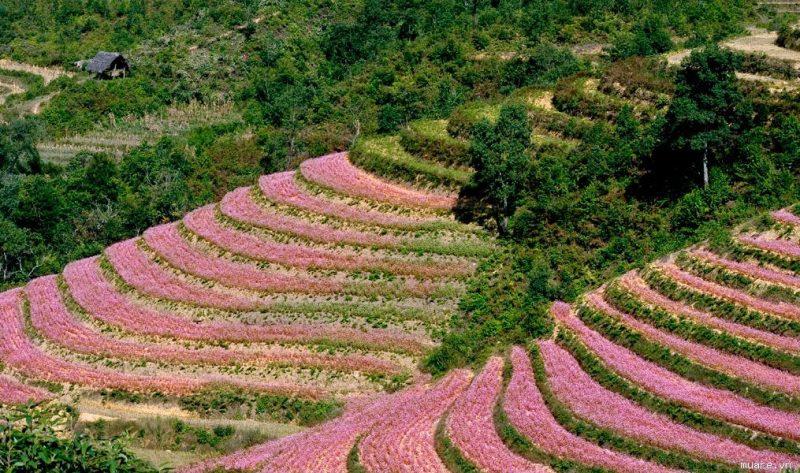 Hoa tam giác mạch ở Lũng Cú.