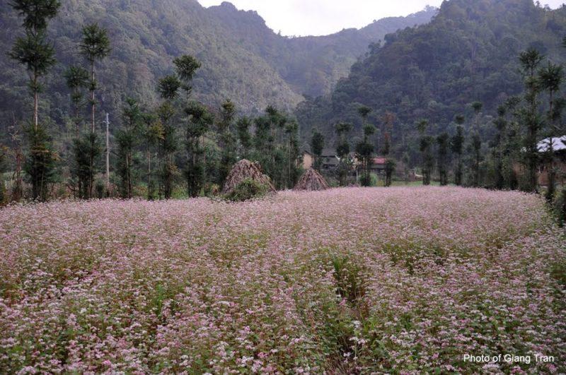 Hoa tam giác mạch ở Lũng Táo.
