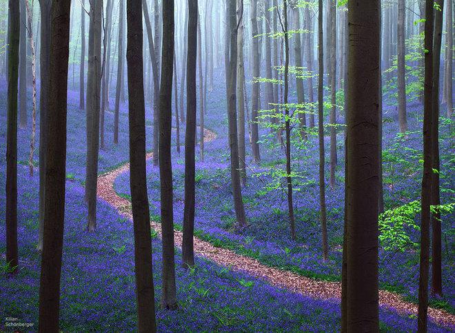 Con đường đi qua rừng Hallerbos ở Bỉ, bao quanh là một thảm hoa chuông xanh tuyệt đẹp.