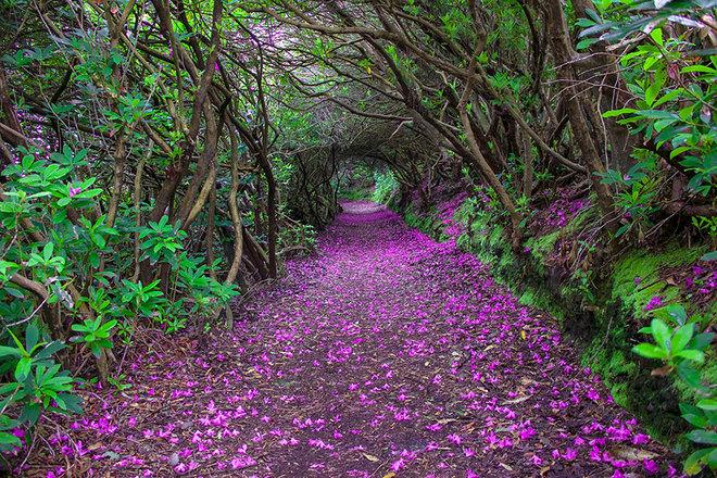"""""""Đường hầm"""" hoa đỗ quyên trong công viên Reenagross, Ireland."""