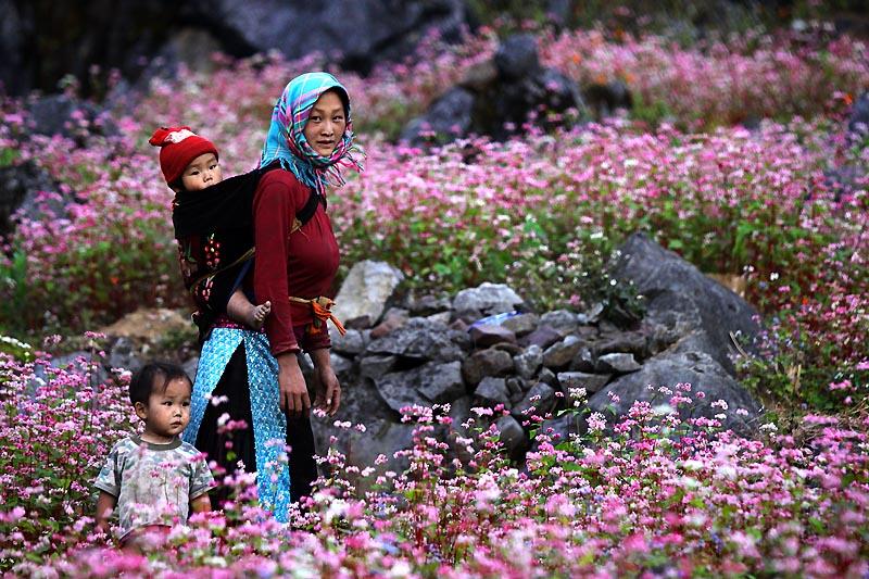 Những cánh đồng hoa tam giác mạch là nơi thu hút khách du lịch nhất.