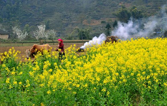 Hoa cải vàng phủ khắp mọi nơi ở Hà Giang