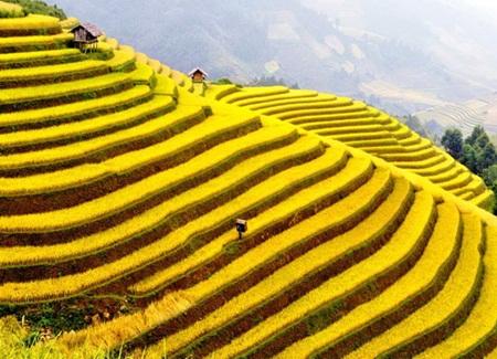 Những ruộng lúa chín vàng xứ Bắc đẹp đến nao lòng