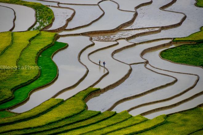 Bóng người nông dân đi trên bờ ruộng như một nét tô điểm cho bức họa thiên nhiên.