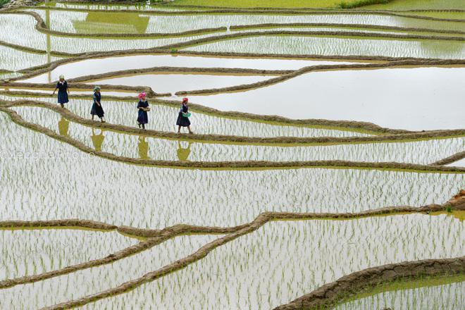 Những thiếu nữ người H'Mông duyên dáng trên những thửa ruộng mới cấy.