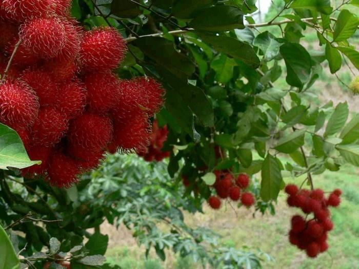 Mua hoa quả và đặc sản Cần Thơ về làm quà
