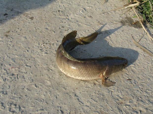 Vuốt đuôi cá lóc trời