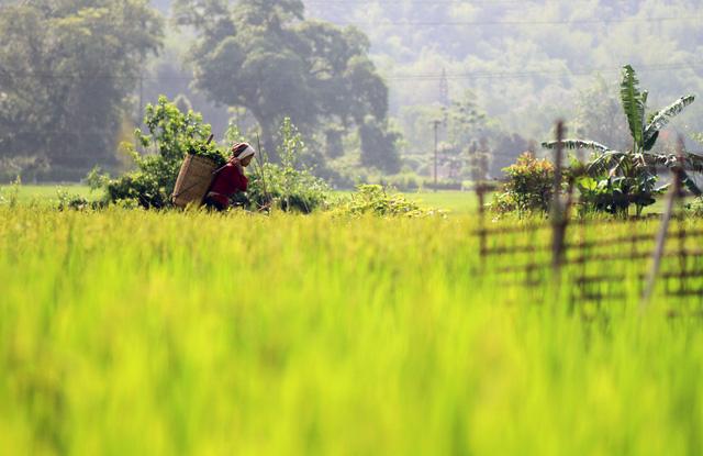 Những cánh đồng lúa chín vàng ở Bản Lác, Mai Châu.