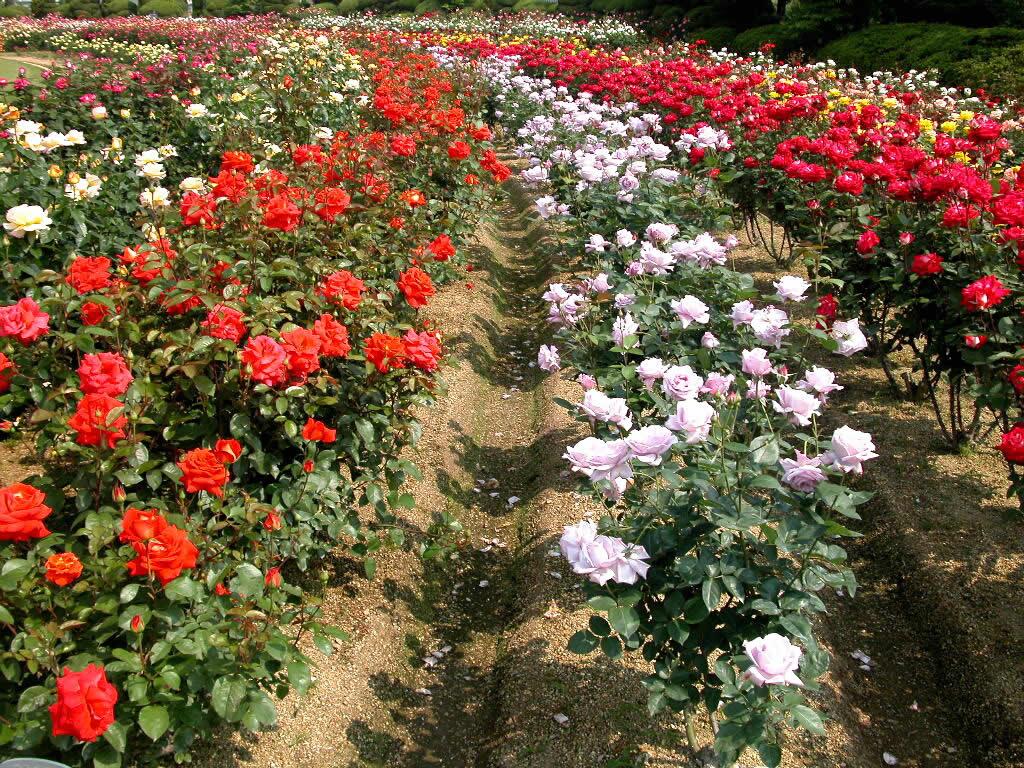 Hoa hồng Đà Lạt, một trong những loài hoa đẹp nhất Đà Lạt.