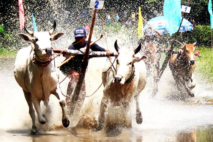 Lễ hội đua bò Bảy Núi - An Giang