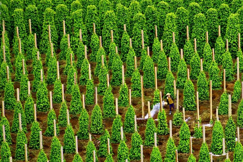 Vườn tiêu cay Phú Quốc.