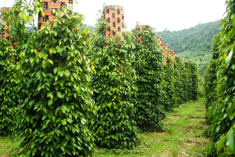 Vườn tiêu cay Phú Quốc