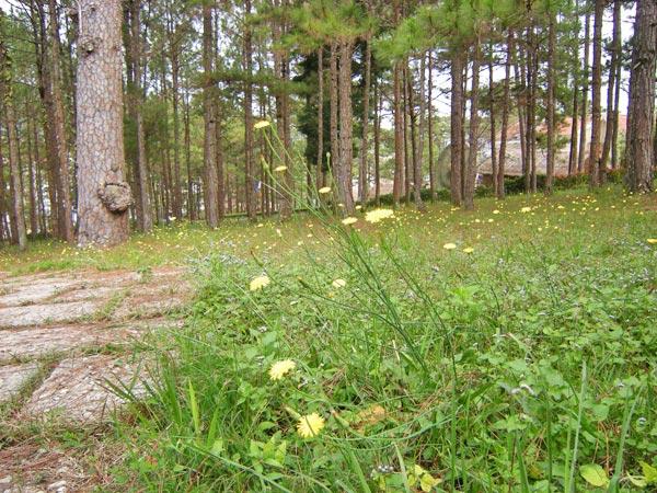 Rừng Thông  với con đường nhỏ , thảm cỏ và loài hoa đặc trưng của Đà Lạt