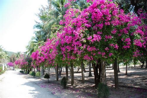  Con đường đầy nắng và hoa (trước nhà lưu niệm Hàn Mặc Tử)