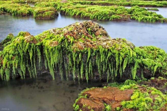 Tuy nhiên, cảnh tượng kỳ thú nhất trong năm khi giữa trung tuần tháng 3 là khi toàn bộ đá được bao phủ một lớp rêu xanh thật đẹp và độc nhất vô nhị.