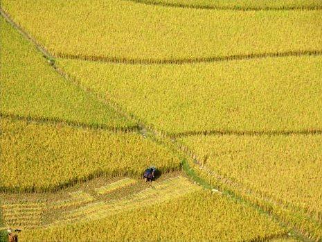 Cánh đồng Mường Thanh mùa gặt