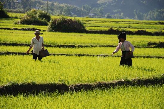 Chăm sóc lúa trên cánh đồng Mường Thanh