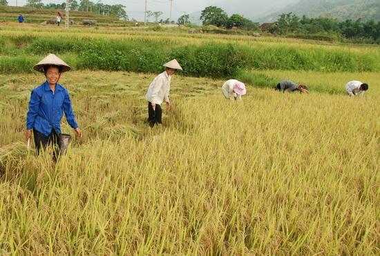 Thu hoạch lúa trên cánh đồng Mường Thanh