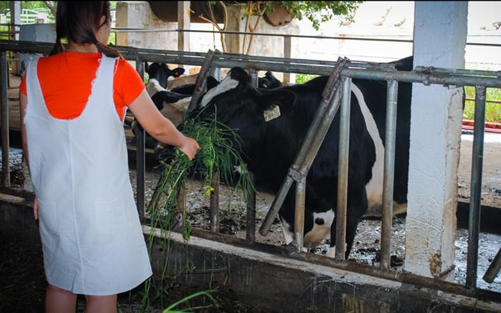 Tới đây du khách sẽ được trải nghiệm tự tay cho bò ăn cỏ
