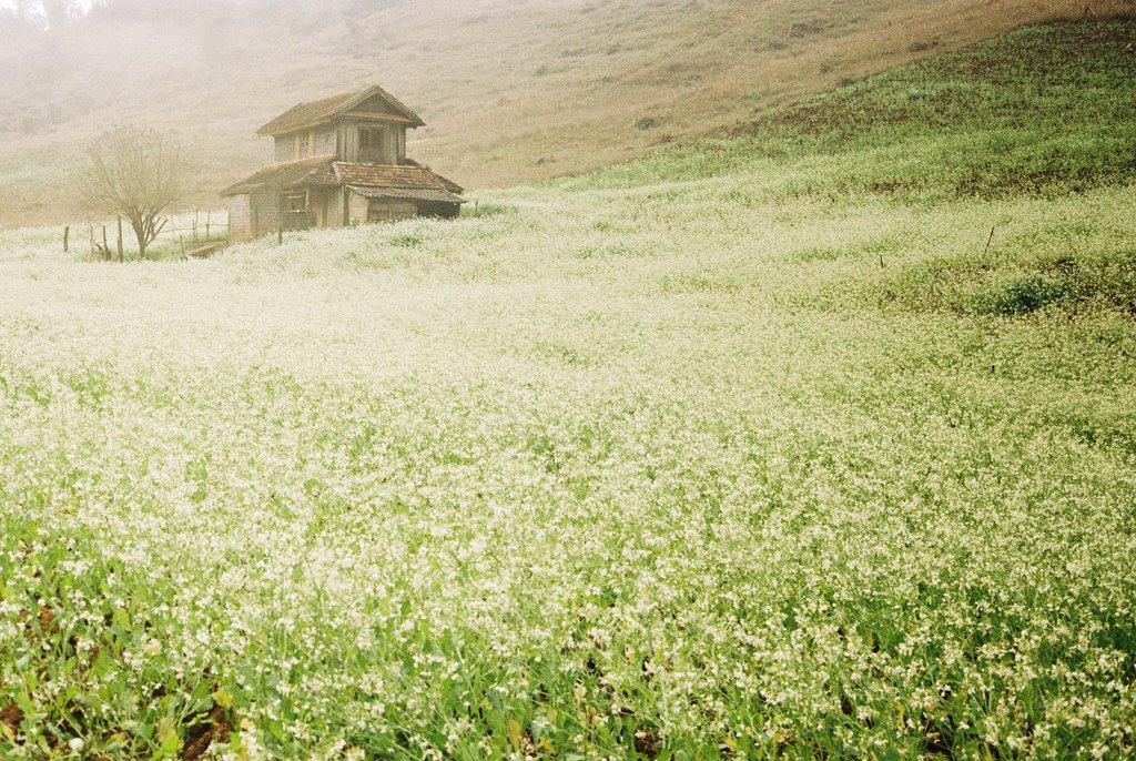 Đến Thông Cuông mùa cải trắng, bạn dễ dàng chụp được những bức hình siêu đẹp.